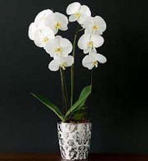Orchid plant 2