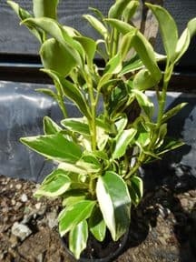 Griselinia littoralis Green Jewel (v)  5L 100-120cm