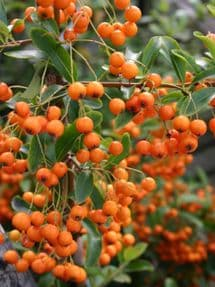 Pyracantha Golden Charmer 2L 60-80cm